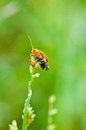 Bombardier beetle Royalty Free Stock Photo