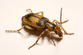Bombardier beetles on a smooth background. Royalty Free Stock Photo