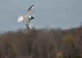Bonaparte's Gull Stock Photography