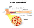 Bone anatomy of the long periosteum endosteum marrow and trabeculae Stock Photo