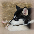 Bone and puppy alaskan malamute Royalty Free Stock Photo