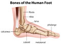 Bones of the human foot illustration on a white background Stock Images
