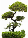 Bonfai tree. Royalty Free Stock Photo