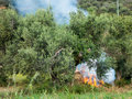 Bonfire land clearing in greek village olive grove greece Royalty Free Stock Photo