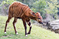 Bongo (antelope) Royalty Free Stock Photo