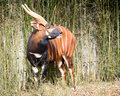 Bongo antelope Royalty Free Stock Photo