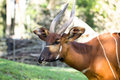 Bongo antelope at zoo Royalty Free Stock Photo
