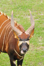 Bongo headshot of african wild antelope Royalty Free Stock Photo