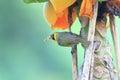 Bonin honeyeater apalopteron familiare in ogsawara island japan Stock Photo