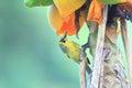 Bonin honeyeater apalopteron familiare in ogsawara island japan Royalty Free Stock Photo