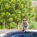 Bonnet Macaque on a Car Roof Stock Photography