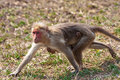 Bonnet Macaque Mother and Baby Running Royalty Free Stock Photo