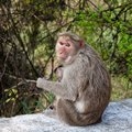 Bonnet Macaque Mother with Young Royalty Free Stock Photo