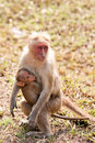 Bonnet Macaque Nursing Royalty Free Stock Photo