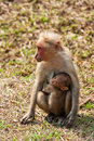 Bonnet Macaque Nursing Young Stock Photography