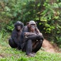 Bonobo Royalty Free Stock Photo