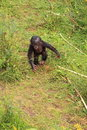 Bonobo baby monkey walking on two legs Royalty Free Stock Photo