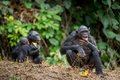 The bonobo ( Pan paniscus), formerly called the pygmy chimpanzee Royalty Free Stock Photo