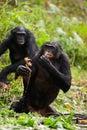 Bonobo in pond Royalty Free Stock Photo