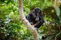 Bonobo on a tree branch. Royalty Free Stock Photo