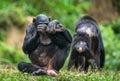 The Bonobo ( Pan paniscus) Royalty Free Stock Photo