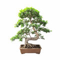 Bonsai banyan tree with a white background Stock Images