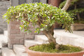 Bonsai a beautiful in outdoor Stock Photo