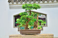 Bonsai beautiful in the sunshine Stock Photo