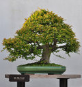 Bonsai of Chinese elm Stock Image