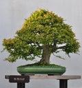 Bonsai of Chinese elm Stock Image
