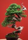 Bonsai conifer Royalty Free Stock Photo