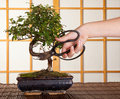 Bonsai cutting Royalty Free Stock Photo
