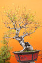 Bonsai in fall on orange mortar wall background Stock Photography