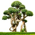 Bonsai houseplant isolated Royalty Free Stock Photo