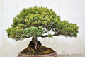 Bonsai in humble administrator s garden is the representative works of chinese jiangnan classical was approved by unesco included Stock Image