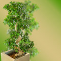 Bonsai miniature ficus tree on blurred gradient background with free copy space area for your text Royalty Free Stock Image