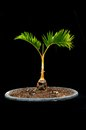 Bonsai palm tree on black background Stock Photo