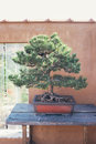 Bonsai pine in front of wall pinus nigra Stock Image