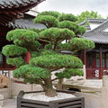 Bonsai pine tree and a pagoda in the park Stock Image