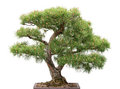Bonsai, pine tree on white background Stock Photo