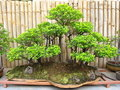 Bonsai Plant. Stock Photography