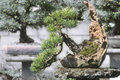 Bonsai spruce in the garden picea tree pot handmade Royalty Free Stock Photography