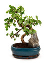 Bonsai Tree In Blue Pot