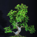 Bonsai tree chinese elm against black backround Stock Images