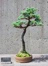 Bonsai tree on display a miniature of a blue atlas cedar at the north carolina arboretum asheville nc Stock Photos