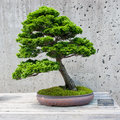 Bonsai tree on display a miniature of a hinoki falsecypress at the north carolina arboretum asheville nc Stock Images