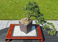 Bonsai tree in the garden Stock Photos