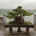 Bonsai tree in Hanoi Royalty Free Stock Photo
