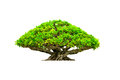 Bonsai tree isolated on white background Stock Photos