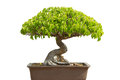 Bonsai tree isolated on white background Royalty Free Stock Images